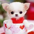 超可爱超萌茶杯狗狗